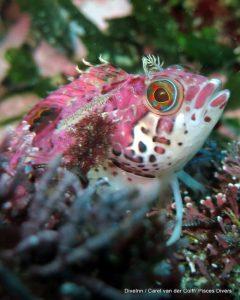 Pink Klipfish