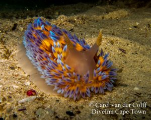 Nudibranch diving Cape Town