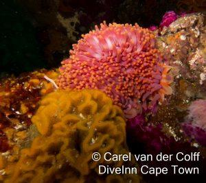 Walking Sock anemone(Preactis millardae)