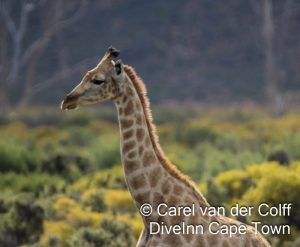 Aquila Giraffe